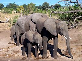 Elefanten wurden unter internationalen Artenschutz gestellt