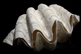 Riesenmuscheln wurden unter internationalen Artenschutz gestellt