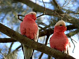 Rosakakadus wurden unter internationalen Artenschutz gestellt