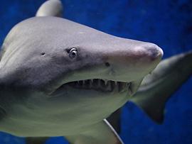 Begegnung mit Haien
